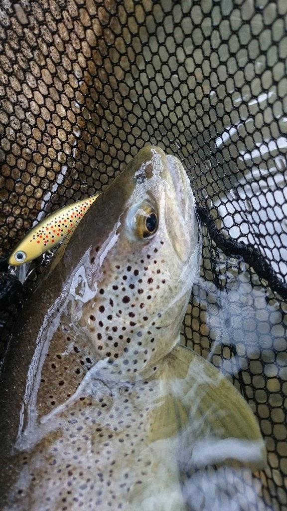 Truite Hd trout brown